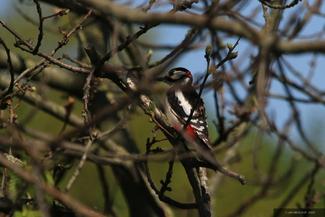Woodpecker (I)