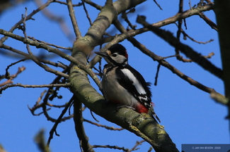 Woodpecker (II)