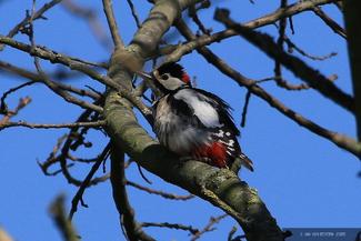 Woodpecker (III)