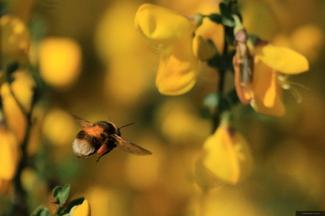 Bumblebee (II)