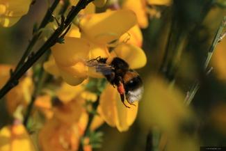 Bumblebee (III)